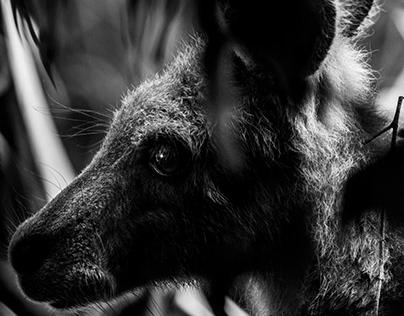 Kangroo in my garden / Photo Series