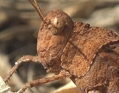Grasshopper, macro