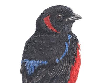 Aves de la región Sabana Centro, Cundinamarca, Colombia