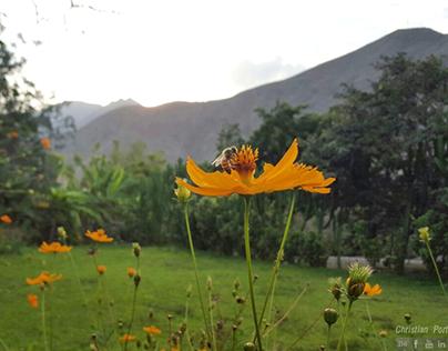 Apicola Mis Girasoles, Catapalla, Cañete - Perú