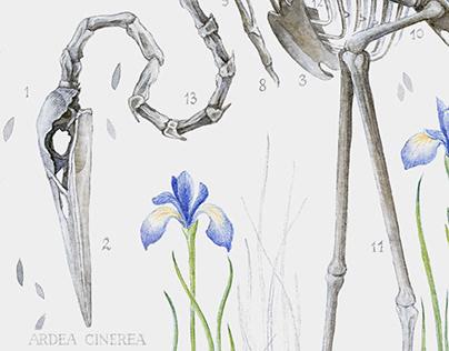 Bones ~ Heron [Ardea cinerea]