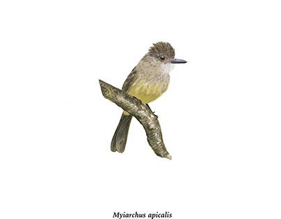 Myiarchus apicalis