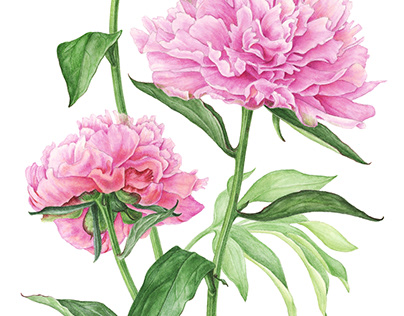 Watercolor bouquet of peonies
