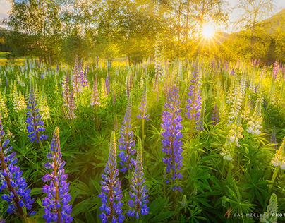 Lupines of Norway
