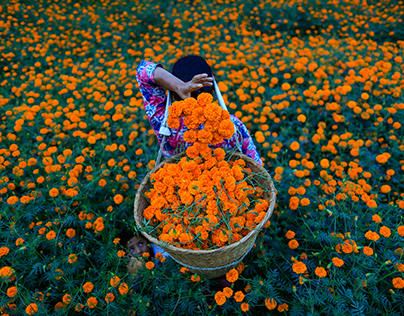 Marigold Fields and Daily Life in Nepal