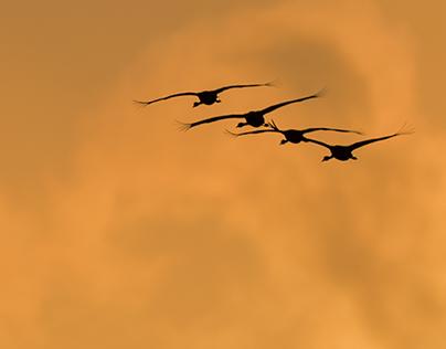 Cranes / Kraniche