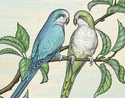 Memorial illustration of parrot couple Pluto & Merlin