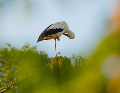 A pair of storks, building a nest - Štorklji in gnezdo
