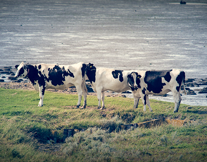 Three Cows By The Sea.