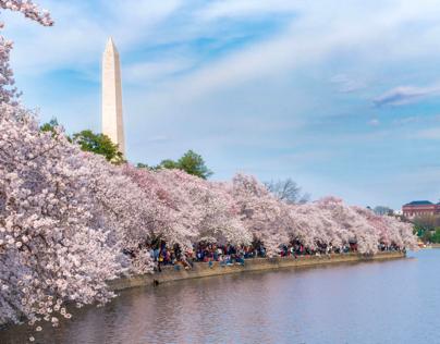 Cherry Blossom Festival DC.