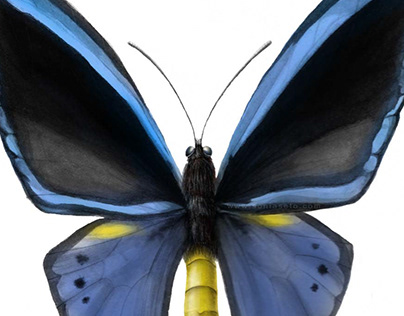 Ornithoptera priamus (Illustration)