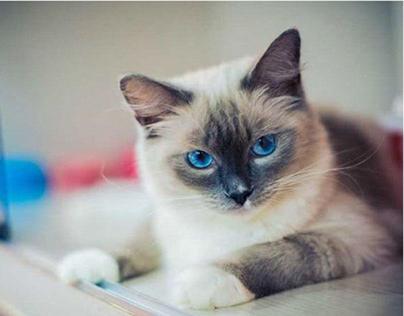 mèo dagdoll