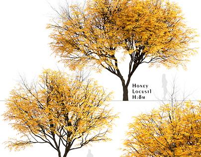 Set of Honey Locust Trees (Gleditsia Triacanthos)