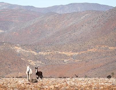 Burro del desierto (Equus africanus asinus)
