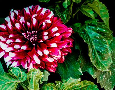 Flowers of Hunza