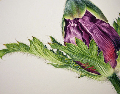 Oriental Poppies - Botanical Portrait