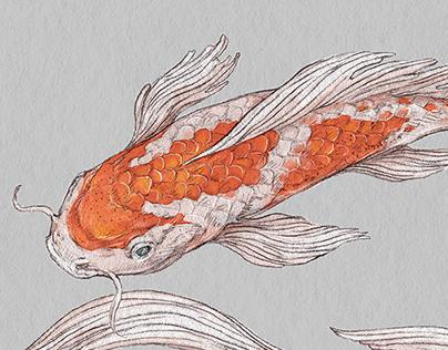 Koi fish illustrations