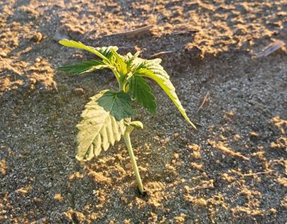 Hemp plant photographed by Jeff LaBerge