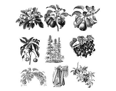 Botanical plant and fruits illustration vintage style