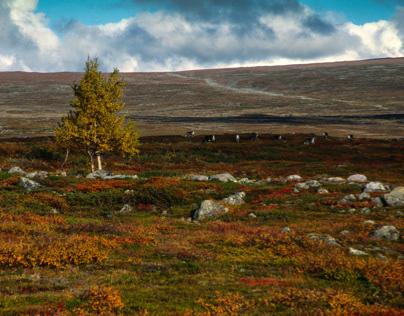 wide ranges and reindeers