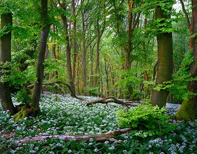 Wild Garlic Forest
