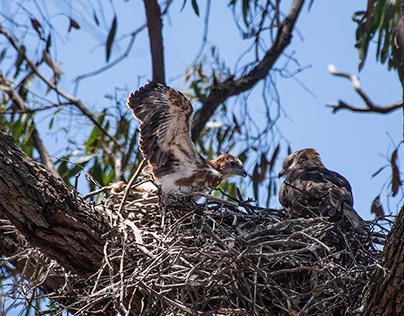 Litle Eagle