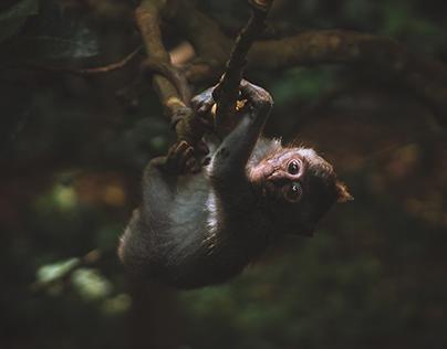 Monkeys of Bali