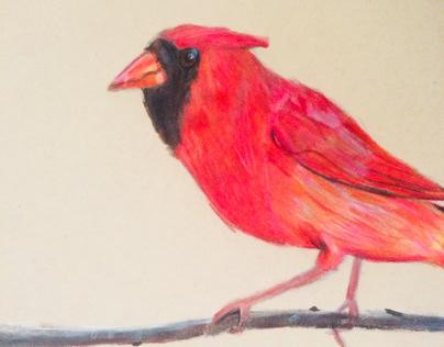 Cardinal bird drawing made in color pencil
