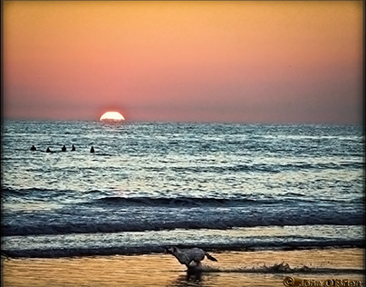 sea dog running