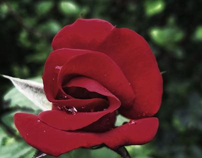 Red rose of Spanish Harlem