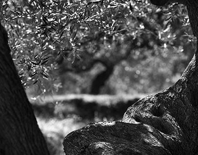 Sustainable Οlive grove Lakonia Greece / BASF