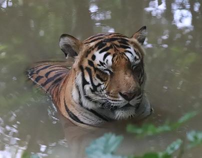 A Bengal tiger bathing.