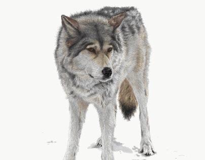 Rue, Yamnuska Wolfdog