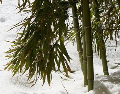 Bamboo in the Snow