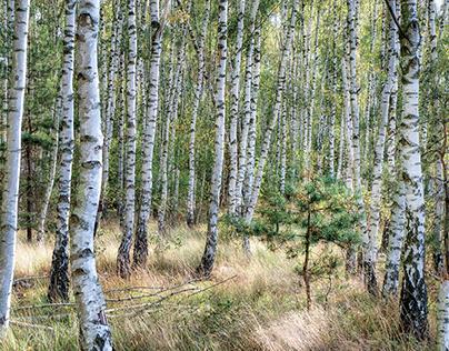 In a birch forest