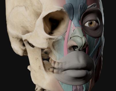 3D | European Female Ecorche Study