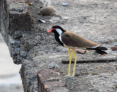 Indian Avifauna: A Photo Series