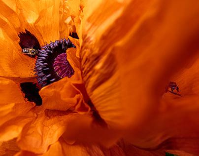 Orientalischer Mohn / Oriental poppy