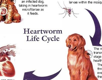 Preventative Care in Dogs - Heartworms