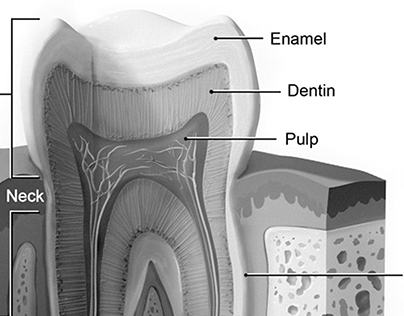 Tooth Anatomy and Abscess