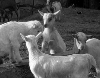 Héthatár kecskefarm pecsét ~ goatfarm rubber stamp
