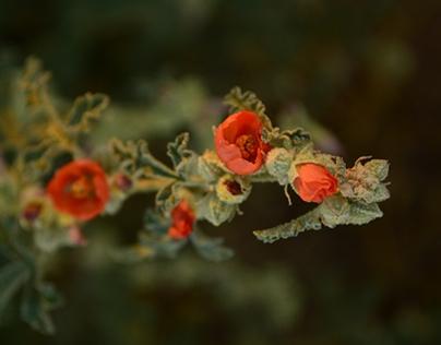 Wildblooms, Northern Sonora Desert - Fall,Winter 2014