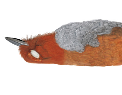 Grallaria rufocinerea