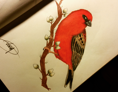 Drawing | Red fody