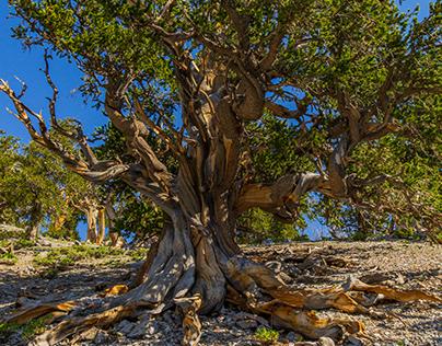 Bristlecone Pine Tree Forest