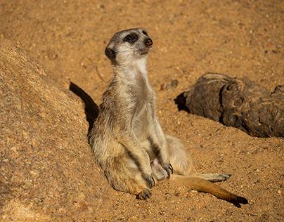 Meerkats, Dubbo, Western Plains Zoo