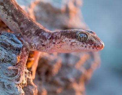 Even-fingered gecko