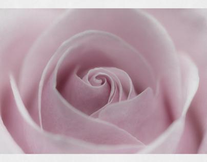 Portrait of a rose