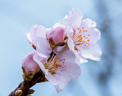 Mandelblüten - Almond blossoms