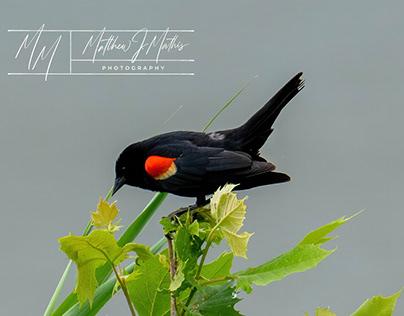 Red Wing Black Bird Beauty